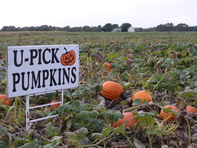 fall-produce-upick-pumpkins09-019