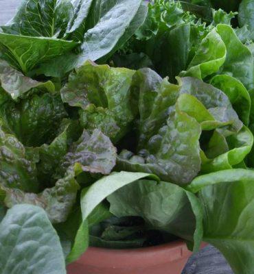 Mixed Lettuce Pot