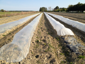 Planting on plastic covered rows assists with the plant's heat absorption and it is acts as a superior weed control