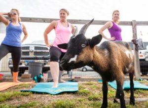 Goat Yoga @ Emily's Produce