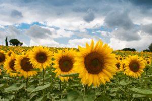 2020 Sunflower Spectacular